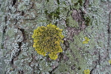 Round Yellow Xanthoria Parietina On Tree Bark Covered With Moss And Lichen