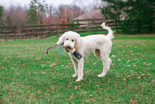 A Young Goldendoodle With A To...