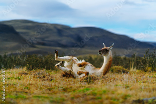 Poster Lama Guanaco in the Torres del Paine National Park. Autumn in Patagonia, the Chilean side