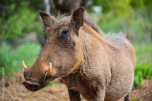 Wild  Warthog in a South African game reserve Canvas Print
