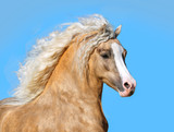 palomino welsh pony with long mane portrait closeup