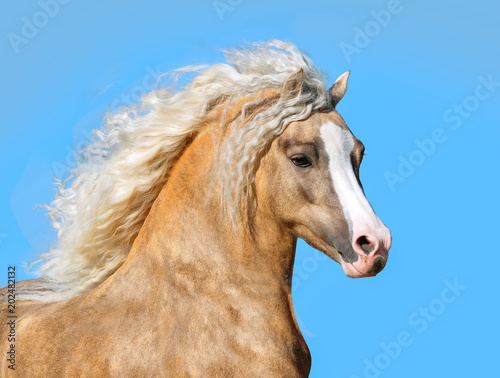 palomino welsh pony with long mane portrait closeup Wallpaper Mural
