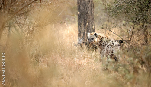 Staande foto Hyena African Spotted Hyena on a South African Safari