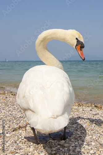 Foto op Canvas Zwaan A swan on the beach on Garda Lake in Italy