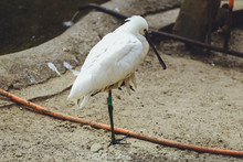 Bird Of Common Spoonbill