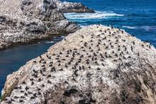 Colony Of Brandt's Cormorants