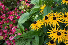 Bright Yellow Flowers Of Rudbeckia With Pink Flowers Of Begonia Semperflorens On The Backdrop, Vivid Autumn Flower Bed On Sunny Day