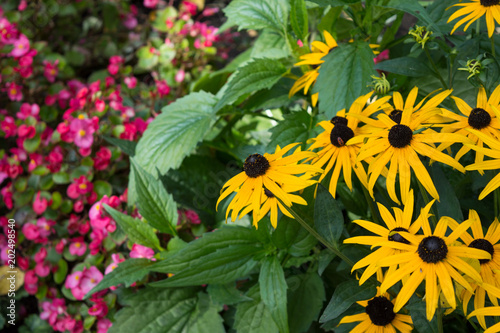 Bright Yellow Flowers Of Rudbeckia With Pink Flowers Of Begonia