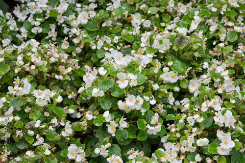 Floral background white flowers of begonia semperflorens with green floral background white flowers of begonia semperflorens with green fleshy wax leaves in flower bed mightylinksfo