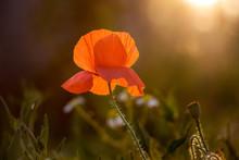Red Poppy Flower In  Garden Du...