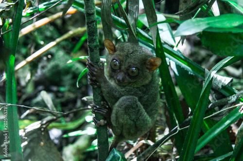 Printed kitchen splashbacks Squirrel Tarsiere, Bohol, Philippines