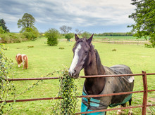 Lively Young Dark Brown And White Horse In A Paddock In Countryside Looking Over A Fence, A Shetland Pony Can Be Seen In The Back Ground. It Is Raining And He Has A Coat On