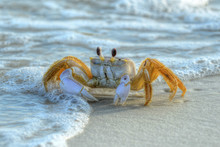Ghost Crab On Crooked Island In Tyndall Air Force Base, Fl