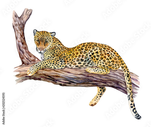 Deurstickers Luipaard Leopard sitting on a tree. Big cat resting on a branch isolated on white background. Realistic watercolor. Illustrated. Template. Clip art.