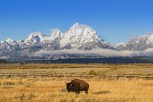 Bison And Tetons