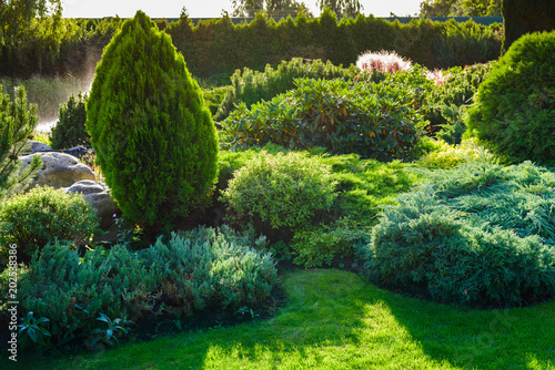 Ornamental bushes of evergreen thuja in a landscape park
