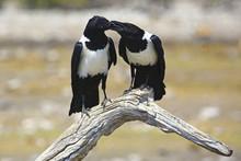 Mother Crow Feeding Juvenile I...