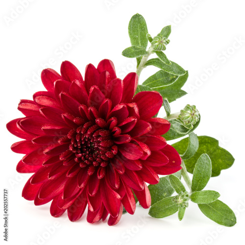 Poster Dahlia Red chrysanthemum flower isolated on white background