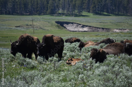 Foto op Canvas Bison Bison, Yellowstone National Park, Buffalo, Wild Animals, Mammals, Nature, Grasslands, Mating, National Park, Wyoming