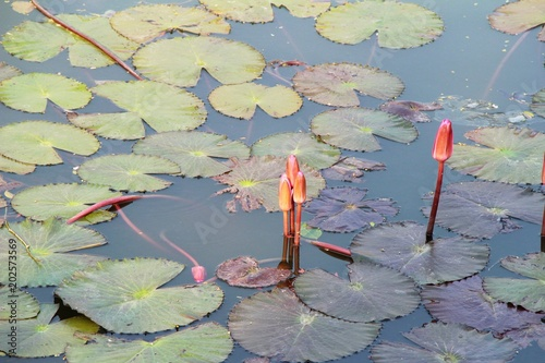 Fototapety, obrazy: Beautiful lotus in the pond with nature