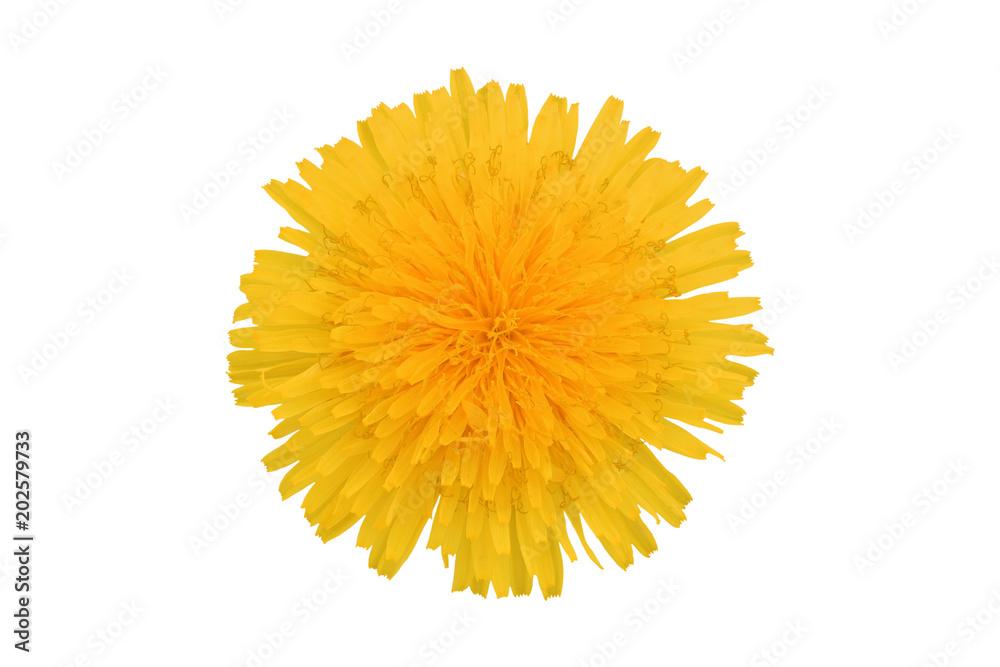 Fototapety, obrazy: Yellow dandelion flower, isolated on white background