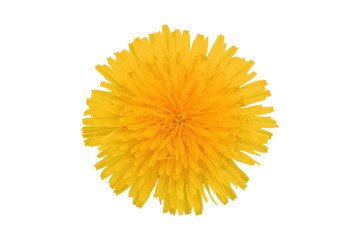 Yellow dandelion flower, isolated on white background