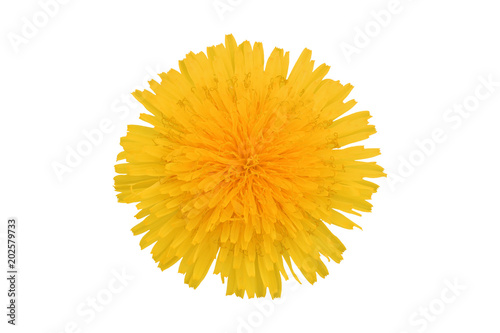 Fotografie, Obraz  Yellow dandelion flower, isolated on white background