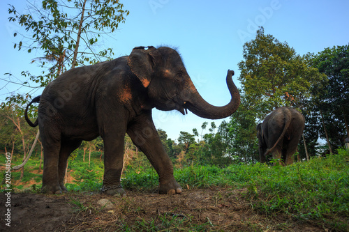 Indian or asian elephant in thailand Poster