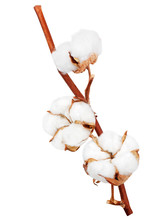 Branch Of Cotton Plant Isolate...