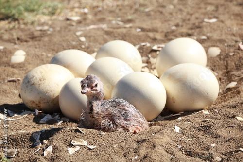 Straußeneier und Straußenbaby im Nest
