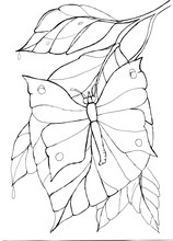 Contour Drawing Of A Butterfly...