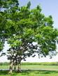 公園の新緑の欅の木