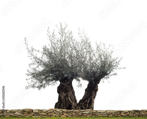 Freigesteller Olivenbaum als Paar hinter einer Gartenmauer aus Naturstein - Olive tree in front of 