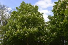 Marronnier D'Inde, Aesculus Hippocastanum