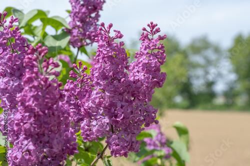 Foto op Aluminium Lilac Flieder Strauch