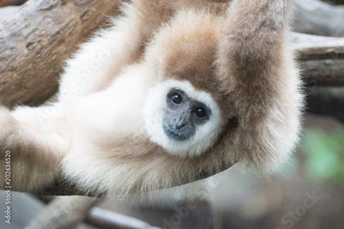 Gibbon фототапет