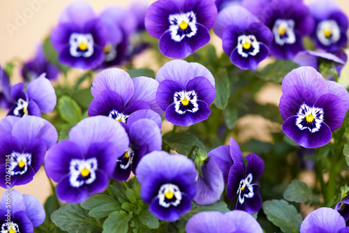 Keuken foto achterwand Pansies Pansy (Viola Tricolor) flower growing in the garden