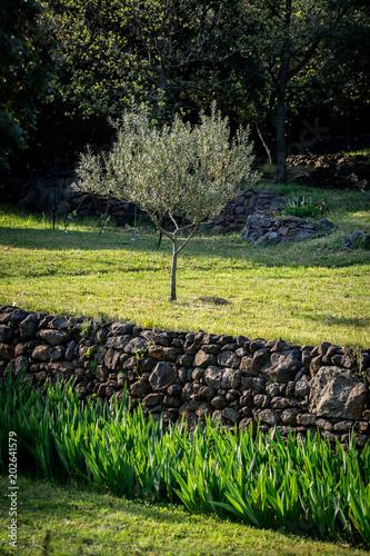 un olivier seul sur un plateau avec un muret de pierre