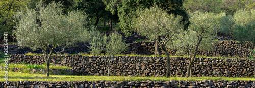 vue panoramique sur des oliviers cultivés en terrasse, avec des murets