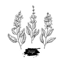 Sage Vector Drawing Set. Isola...