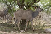 Grand Koudou, Mâle, Tragelaphus Strepsiceros, Afrique Du Sud