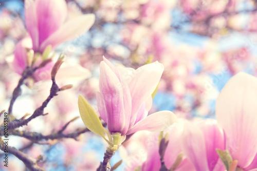 Plakat Wiosna - magnolia kwitnie - kartka z pozdrowieniami
