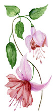 Beautiful Fuchsia Flower On A Twig With Green Leaves. Isolated On White Background. Watercolor Painting.