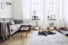 Design Interior Of Living Room With Small Design Table And Sofa. White Walls, Plants On The Windowsill And Floor. Brown Wooden Parquet. The Dogs Sleep In The Room.