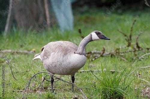 Fotografie, Obraz  Albino Canadian goose