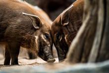 Cute Red River Hogs