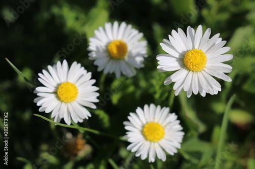 Foto op Canvas Madeliefjes Gänseblümchen (Bellis perennis) - Korbblütler (Asteraceae) im grünen Gras