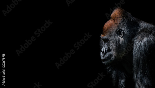 Portrait of powerful alpha male African gorilla at guard