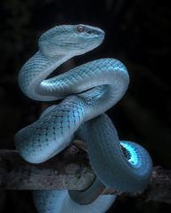 Snake - Viper - Reptile Series