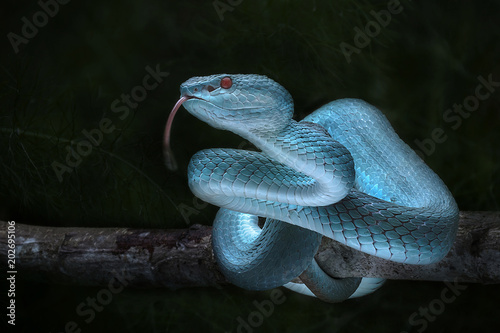 Snake - Viper - Reptile Series Canvas Print